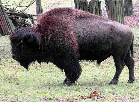 Bison, Buffalo, Wisent, Wildlife Park, Winter, Horns