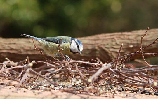 Blur Tit, Garden Bird, Bird, Garden, Nature, Outdoor