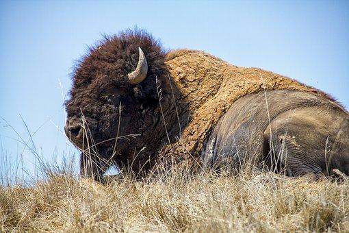 Bison, Buffalo, Animal, Wildlife, Horns, Brown