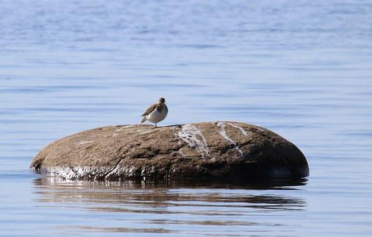Animal, Bird, Common Sandpiper, Actitis Hypoleucos