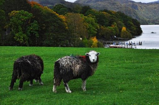 Sheep, England, Cumbria, Derwentwater, Keswick, Lake