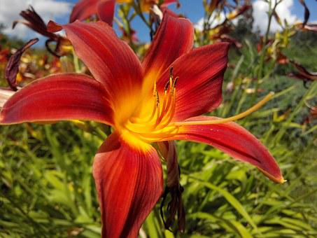 Lily, Flower, Flowers, Leaves, In The Summer Of