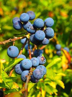 Schlehe, Berries, Blue, Bush, Fruit, Blackthorn