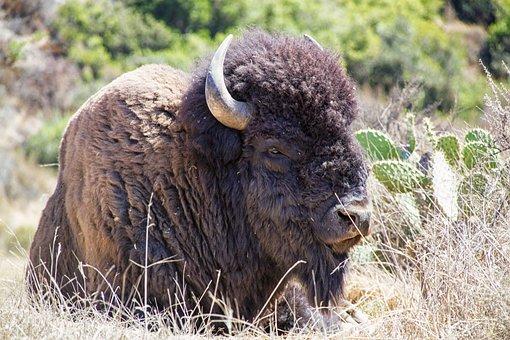 Bison, Buffalo, Animal, Wildlife, Grass, Bull, Horns