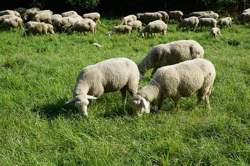 Sheep, Pasture, Meadow, Grey, Green, Grass, Tuttlingen