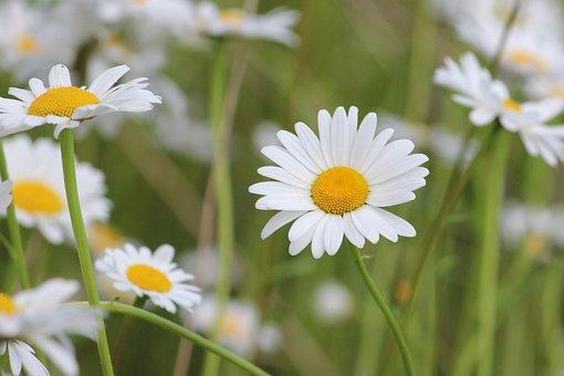 Magarite, Magaritenblueten, White, Flowers, F, Spring