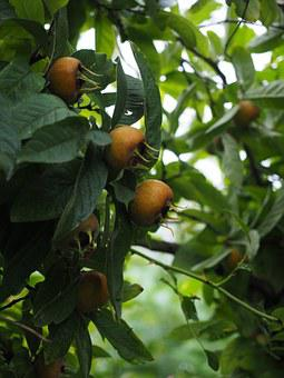 Medlar, Fruits, Mespilus Germanica, Edible, Real Medlar