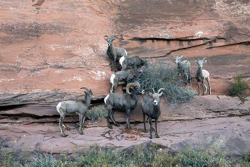 Big Horn Sheep, Colorado, Mountain, Mountainside