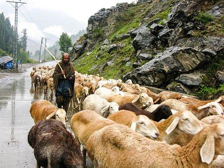 Flock, Sheep, Mountain, Rain, Nature, Pasture, Grass