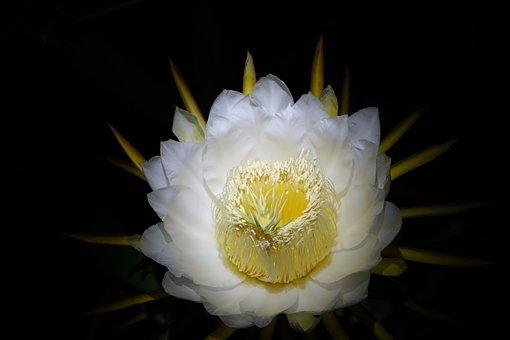 Flower, Pitaya Flower, White, Pure, Blooming