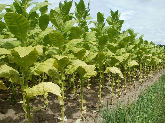 Tobacco, Field, Leaves, Plantation, Agriculture, Farm