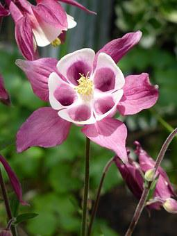 Grannies Bonnet, Aquilegia, Purple, Flower, Spring