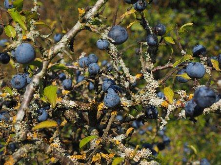 Schlehenbeeren, Schlehe, Berries, Blue, Bush, Fruit