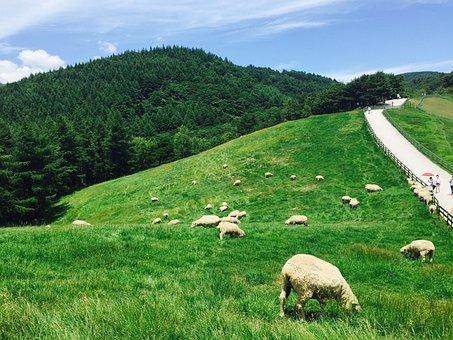 Daegwallyeong, Yang, The Flock, A Flock Of Sheep, Ranch