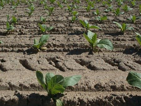 Tobacco, Field, Agriculture, Growing, Plantation, Crop