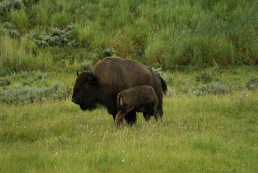 Bison, Calf, Yellowstone, Buffalo, Wildlife, Animal