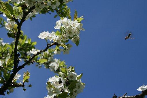 Spring Pollinators, Bees, White, Blossom, Blue, Sky