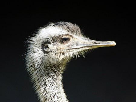 Rhea Bird, Close Up, Flightless Bird, Ratites