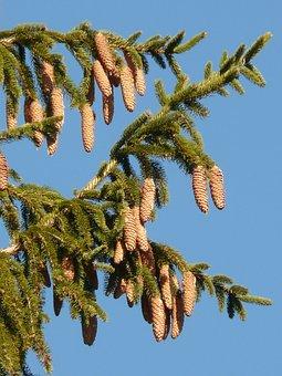 Pine Cones, Tap, Tree, Conifer, Common Spruce