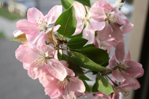 Crabapple, Flowers, Apple, Pink, Petal, Springtime