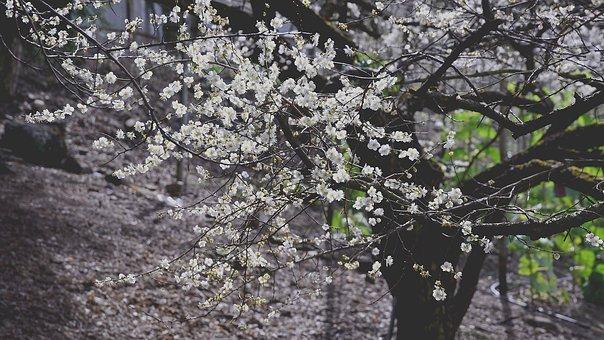 Plum Blossom, Flower, Context, Spring, Flower's