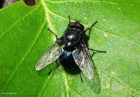 Fly, Insect, Bug, Pest, Fauna, Antenna, Disease