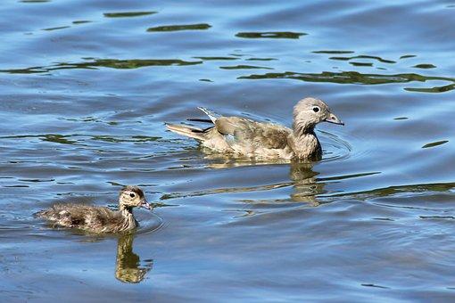 Gadwall, Duck, Chicken, Water, Lake, Nature, Water Bird