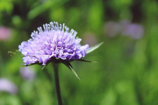 Glossy Scabious, Pincushion Flower, Kardengewaechs