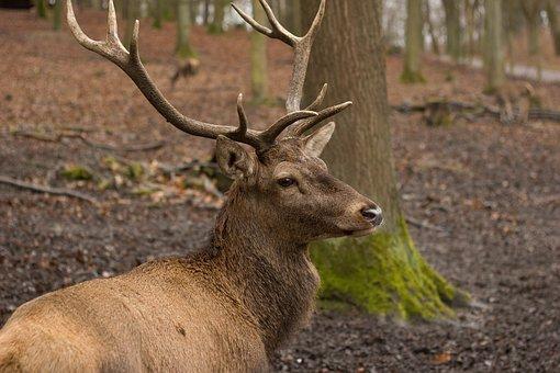 Hirsch, Red Deer, Forest, Antler, Wild, Wildlife Park