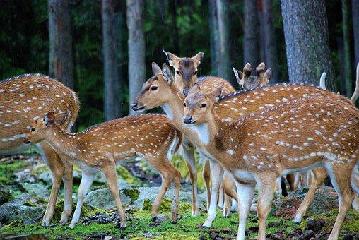 Fallow, Deer, Antler, Antler Carrier, Animal, Hunt