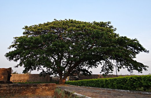 Albizia Saman, Rain Tree, Kittur, Karnataka, India