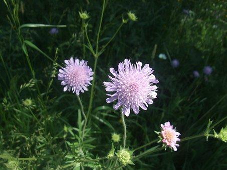 Land Wittwenblume, Flower, Knautia Arvensis
