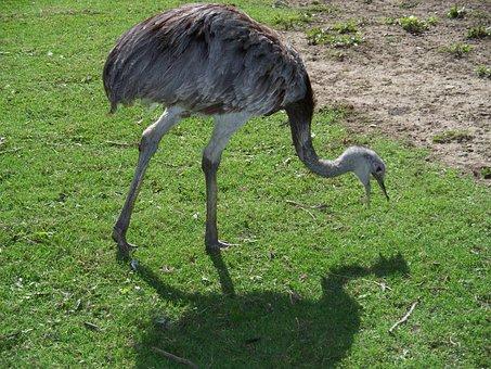 Rhea, Bird, Flightless, Ratite, Guarani, Large, Grey