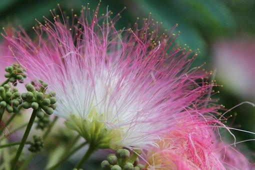 Flower, Blossom, Red, Monkey Pod, Albizia Saman