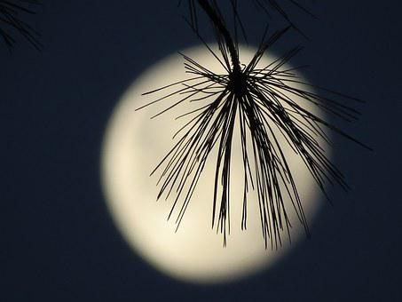 Moon, Brench Silhouette, Evergreen Tree, Moon Light
