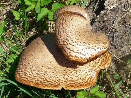 Mushroom, Tree Fungus, Polyporus Squamosus Stalk