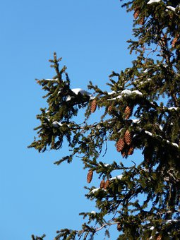 Tap, Pine Cones, Spruce, Picea, Pine Greenhouse