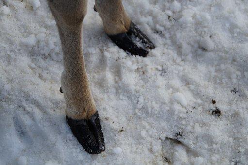 Roe Deer, Foot, Rehfuss, Huf, Ungulate, Paarhufer