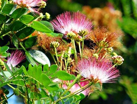 Flower, Rain Tree, Tree, Albizia Saman, Tropical, Green