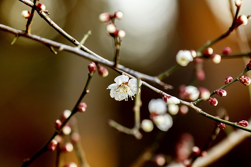 Flowers, Plum, Natural, Spring, White Flowers