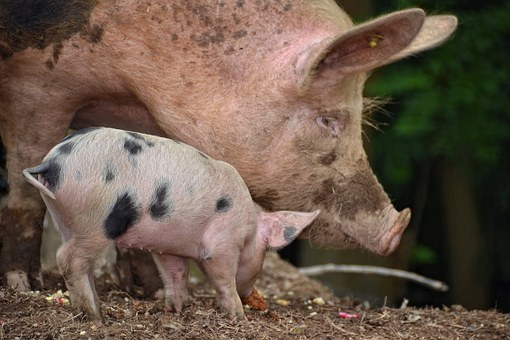 Pig, Farm, Youngster, Pigtail, Pig-tail, Pig Tail