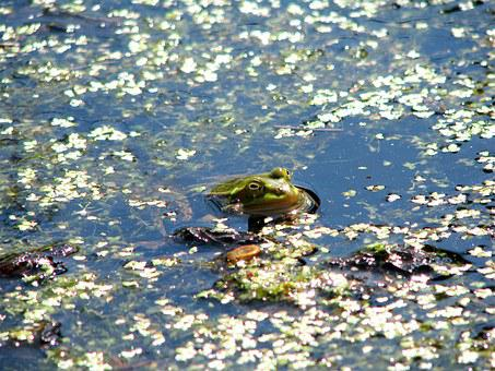 The Frog, Amphibian, A Toad, Animal, Water, Wetlands