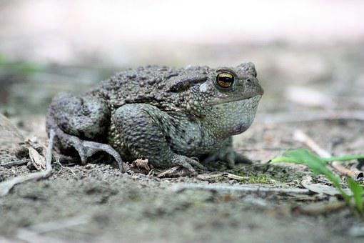 A Toad, Amphibians, Common Toad, Nature