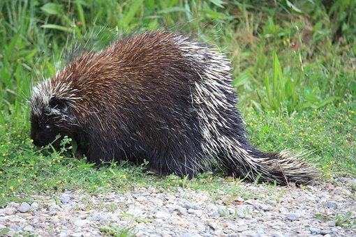 Canadian Porcupine, Porcupine, Canada, Animal, Prickly
