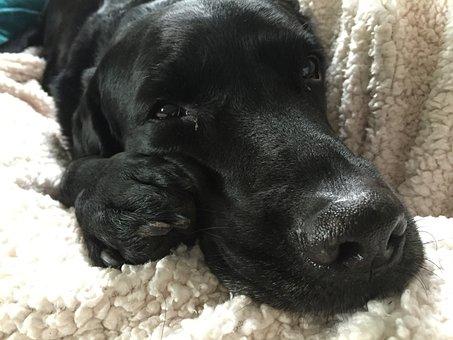 Labrador, Retriever, Sleepy, Happy, Relaxed, Big Nose