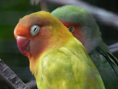 Lovebirds, Bird, Parrot, Agapornis Fischeri, Yellow