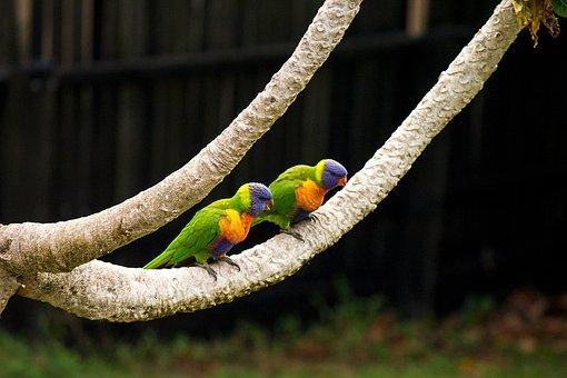 Rainbow, Parrot, Tree, Couple, Black, Colourful, Animal