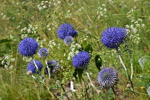 Ruthenian Kugeldistel, Echinops Ritro, Asteraceae, Blue