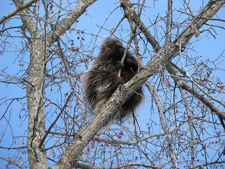 Canada Porcupine, North American Porcupine