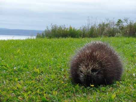 Nature, Porcupine, Parc National Forillon, Cap Gaspé